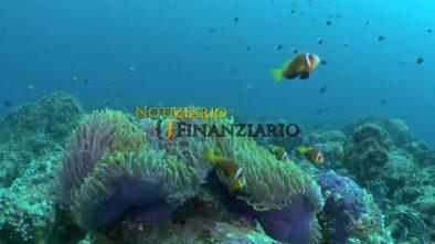 pesce pagliaccio rosa ruota daccoppiamento isole kerama procreazione